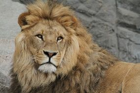 portrait of a serious lion