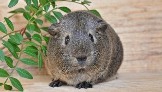 Sweet Grey guinea pig smooth hair