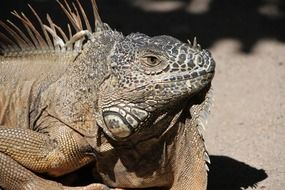 Close-up of iguana with thorns