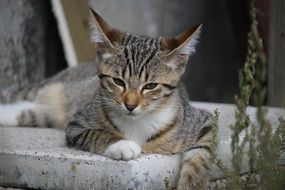 relaxing young tabby cat