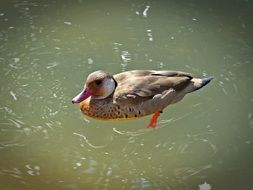 Mandarin duck in water