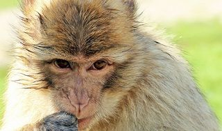 cute barbary ape