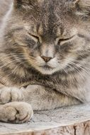 gray domestic cat is resting