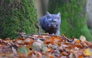 picture of the grey young cat