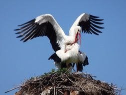 two big white storks in the nest