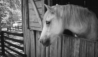 portrait of a white horse in black and white