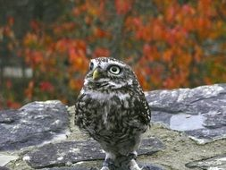 picture of the owl