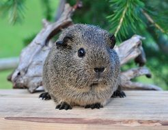 Pretty Grey guinea pig with smooth hair