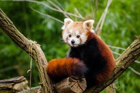 red panda with bushy tail