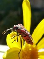 Big Red Bug on Yellow petals