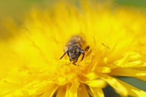 busy bee on the dandelion flower