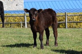 black calf stands on green grass