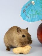 hamster with peanut and red apple