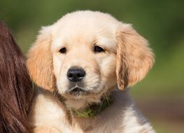 portrait of a sweet golden retriever