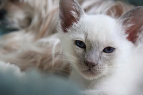 portrait of a white domestic kitten