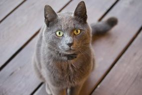 fluffy gray cat on a wooden flooring