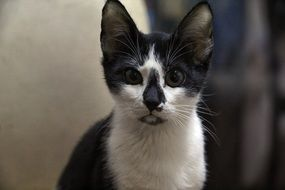 funny black and white cat