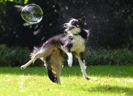 dog playing with soap bubble