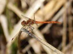 red dragonfly on a dry blade of grass close up