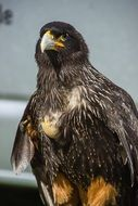 portrait of a majestic bird of prey