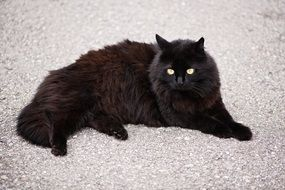 black cat lies on a white carpet
