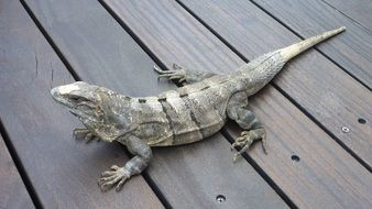 iguana on a wooden surface