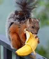 squirre isl eating banana