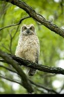 big horned owl on a tree branch