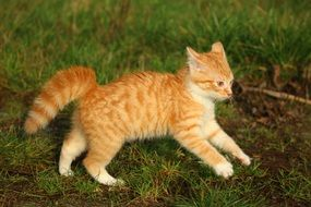 frolicking tabby red cat