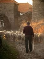 flock of sheep on a farm at sunset