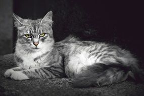 domestic cat with tricky glance