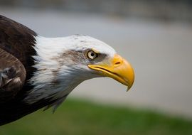 profile portrait of an eagle with huge beak