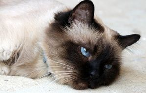 lazy domestic cat with blue eyes