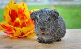 grey guinea pig and bright bud