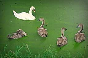 white Swan and grey Cygnets on green water