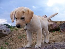 sweet curious labrador puppy