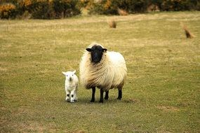 purebred sheep with a cub on the grass