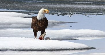 bald eagle with a meal in the snow