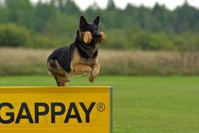 Dog German Shepherd jump training