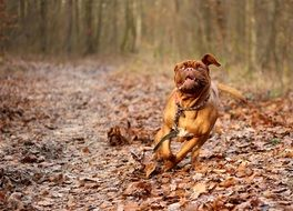 Dogue de Bordeaux in a forest in autumn