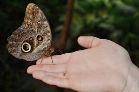 brown morpho peleides butterfly
