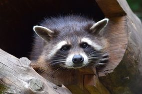 raccoon in wildlife park close-up