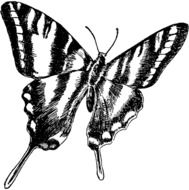 painted black and white zebra butterfly