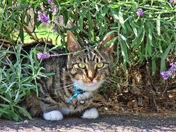 domestic cat with blue collar
