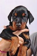 portrait of a cute doberman puppy