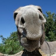 huge nose of a donkey close-up