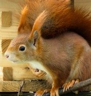 curious red furry squirrel
