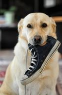 labrador with shoe in mouth