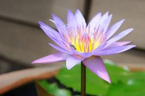 insect on a purple flower of a lotus on a pond