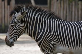 striped zebra in the zoo